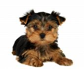 foto of adoration  - Beautiful Yorkshire Terrier on the black background - JPG
