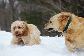foto of cockapoo  - Two dogs an Australian Cattle Dog and a Cockapoo fight in the snow - JPG