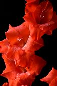 picture of gladiola  - Some pretty red gladiolas over a black background - JPG