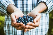 Organic Fruit. Farmers Hands With Freshly Harvested Fruit. Organic Blueberries. Fresh Organic Berrie poster