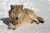 Lone Wolf With A Predatory Gaze Lies On The Snow In Winter, An Evil Grin Of A Big Wolf In Winter poster