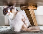 White Grey And Ginger Persian Cat Sitting On A Rug In A Modern House Licking Its Lips. A Persian Cat poster