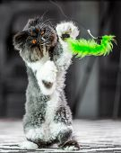Black And White Persian Cat On A Rug On Its Hind Legs Playing With A Green Cat Toy. A Persian Cat Wi poster