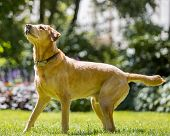 Labrador Standing Ready On Grass Looking Up On A Sunny Day Tongue Out. A Sandy Labrador Retriever Do poster