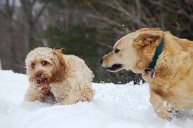 stock photo of cockapoo  - Two dogs an Australian Cattle Dog and a Cockapoo fight in the snow - JPG