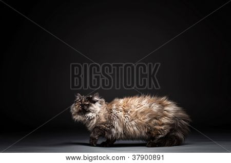 Chincilla Persial Cat
