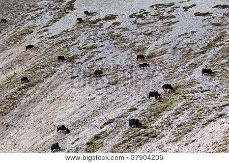 Herd of yaks in the Nepal Himalaya