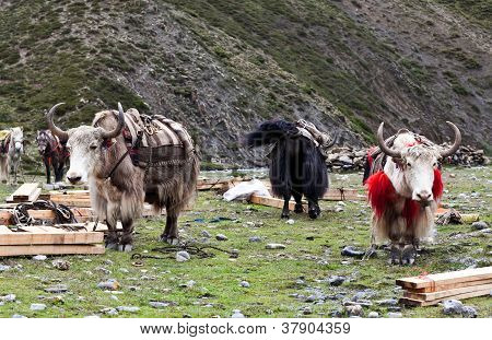 Herd of yaks in the Nepal Himalaya