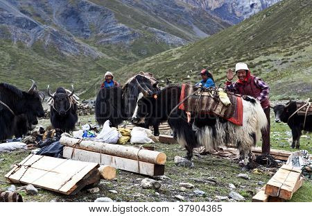 Tropeiro tibetano com iaques