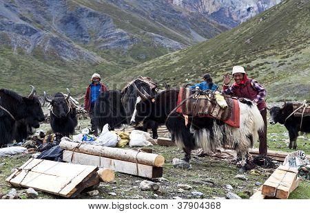 Drover tibetano con yaks