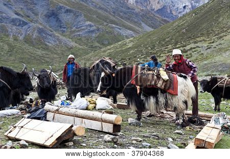 Tibetan drover with yaks