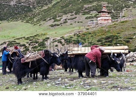 Tibetan drover with yaks