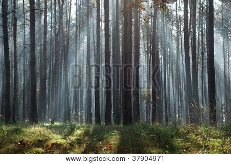 Blue Sunbeams In Autumnal Forest
