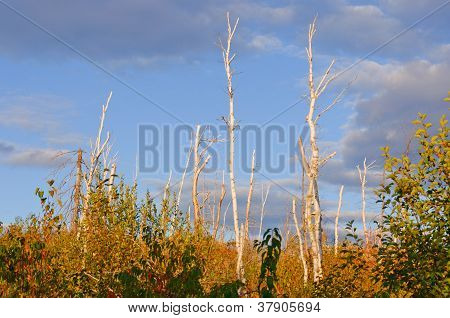 Birch Trunks Silhouetted Against The Sky