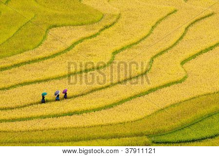 Three Women Visit Their Rice Fields In Mu Cang Chai, Yen Bai, Vietnam