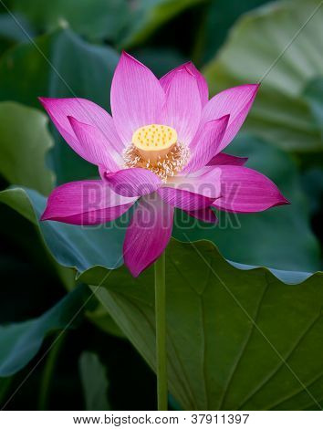 lotus flower blossom. Lotus flower isolated