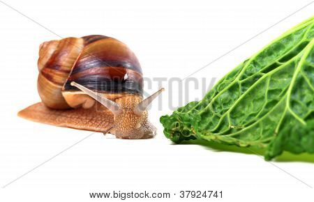 Snail And Savoy Cabbage Leaf