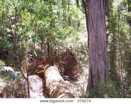 Australian Uprooted Tree