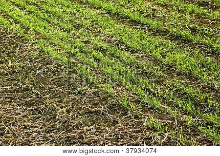 Edge Of Sown Wheat Fields Close Up