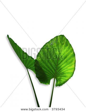 Ears Plant Colocasia Esculenta