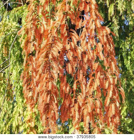 Dawn Redwood In Autumn, Metasequoia Glyptostroboides