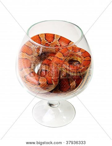 Corn Snake In A Glass On The White Background (elaphe Guttata)