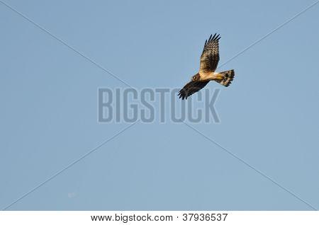 Northern Harrier voando em um céu azul