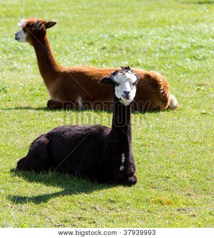 Black and brown Alpacas