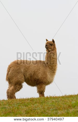 Alpaca in profile