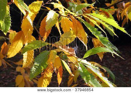 Autumnal Leaves Of The Cutleaf European Beech, Fagus Sylvatica Laciniata