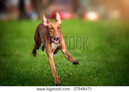 Pharaoh Hound dog running