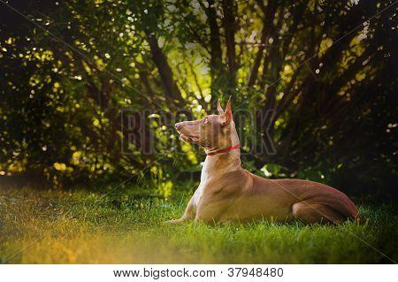 Pharaoh Hound brown dog lies and dreams