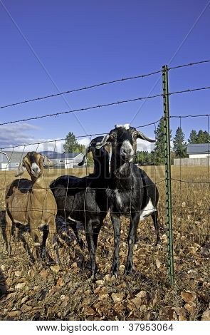 Three Nubian Goats By The Fence.