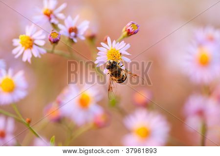 Bee On A Yellow Flower The Chamomile
