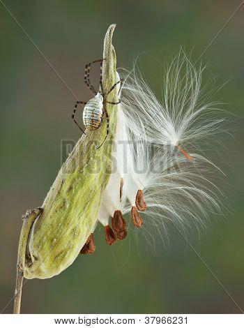 Argiope Spider On Milkweed
