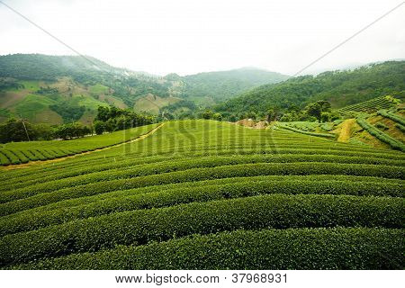 Landscape of Tea Field