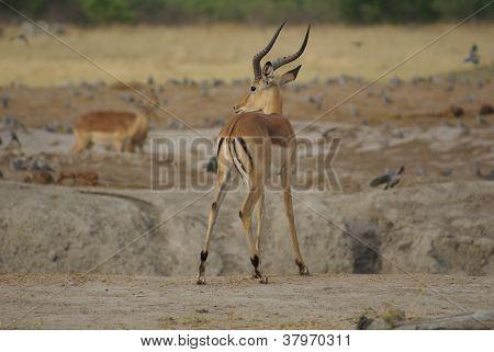 Impala in the Savuti Park