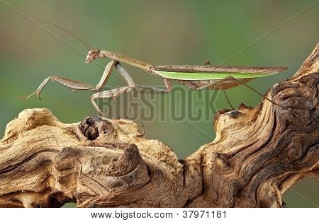 Mantis Walking Over Branch