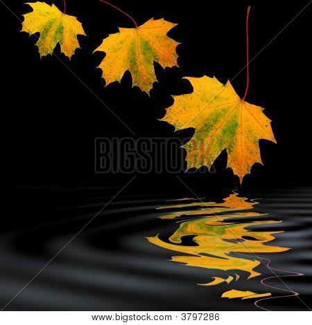 Golden Maple Leaf Beauty