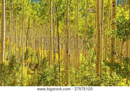 Forest Of Golden Aspen Trees