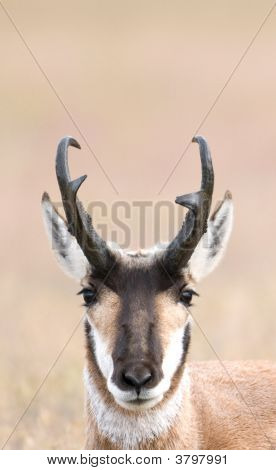 Face Of A Pronghorn