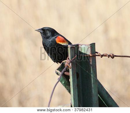 Red-winged Blackbird On Fencepost 2