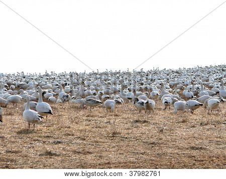 Backlit Snow Geese