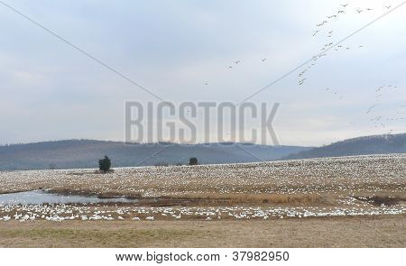 Snow Geese In Pasture