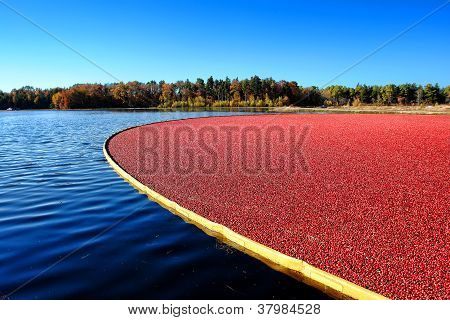 Flooded Cranberry Bog During Harvest In New Jersey
