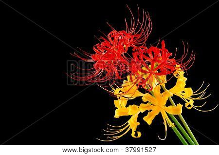 Red and golden spider lily