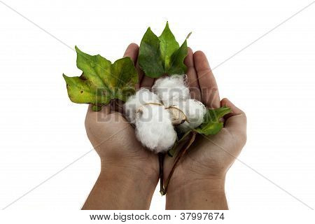 Cotton Plant In Two Hands