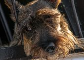 picture of scottie dog  - A closeup image of the face of a Scottish Terrier - JPG