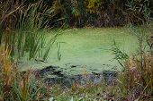 small lake in the swamp with duckweed and reed