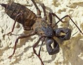 A Vinegaroon, Also Known As Whip Scorpion poster